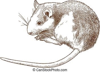 Vector antique engraving drawing illustration of big mouse isolated on white background