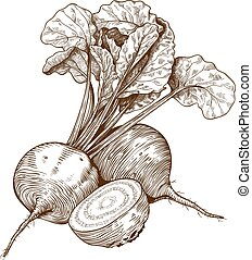 engraving vector illustration of beet on white background