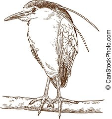 engraving illustration of black-crowned night heron - Vector...