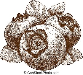 engraving illustration of blueberry - Vector engraving...