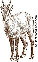 engraving illustration of chinese goral - Vector antique ...