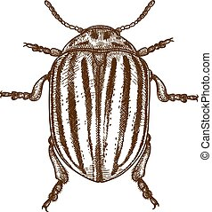 engraving illustration of Colorado beetle - Vector antique ...