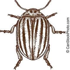 engraving illustration of Colorado beetle - Vector antique...