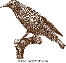 engraving illustration of common starling - Vector antique...