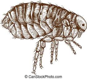 engraving illustration of flea