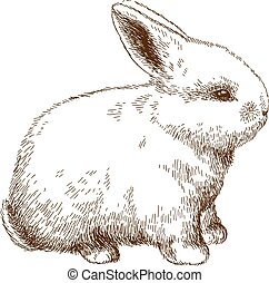 engraving illustration of fluffy bunny - Vector antique...