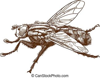 Vector antique engraving drawing illustration of fly insect isolated on white background