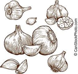 engraving illustration of garlic - engraving vector...