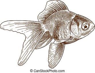 engraving illustration of goldfish - Vector antique ...