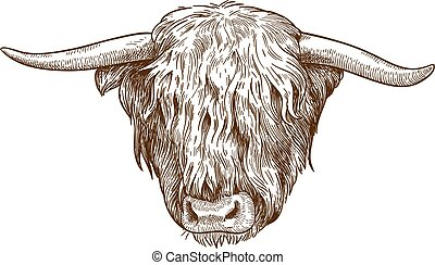 engraving illustration of highland cattle head - Vector ...