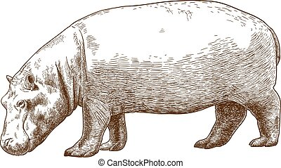 engraving illustration of hippo - Vector antique engraving...