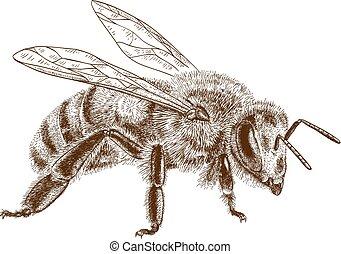 engraving illustration of honey bee - Vector engraving ...
