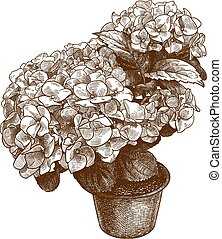 engraving illustration of hydrangea macrophylla