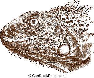 Vector antique engraving illustration of reptile iguana lizard head isolated on white background