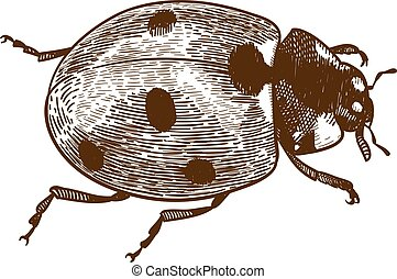 engraving illustration of ladybug or ladybird