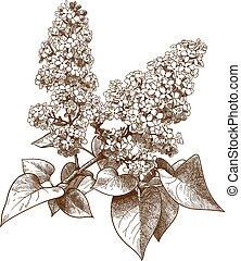 engraving illustration of lilac syringa