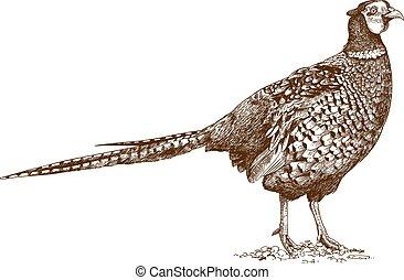 engraving illustration of pheasant