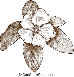 engraving illustration of quince flower - Vector antique ...