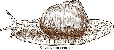engraving illustration of roman snail - Vector antique ...