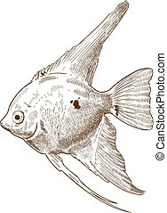 engraving illustration of scalare angelfish - Vector antique...