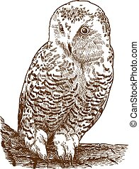 engraving illustration of snowy owl - Vector antique ...