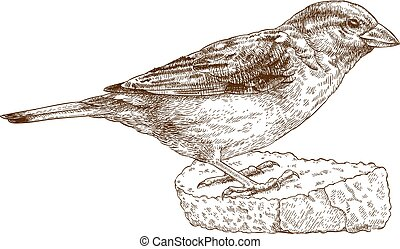 engraving illustration of sparrow - Vector engraving...