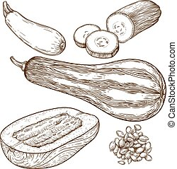 engraving illustration of squash - engraving vector...