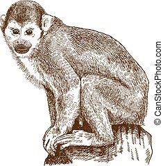 engraving illustration of squirrel monkey