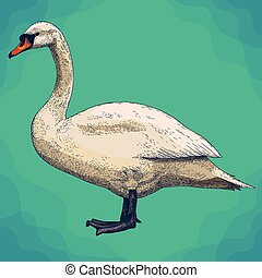 engraving illustration of swan in retro style - Vector...