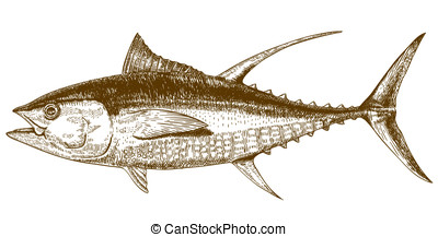 engraving illustration of tuna - Vector engraving...