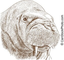 engraving illustration of walrus head - Vector antique...