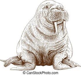 engraving illustration of walrus - Vector antique engraving ...