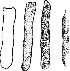 engraving., kast, årgång, hyaline
