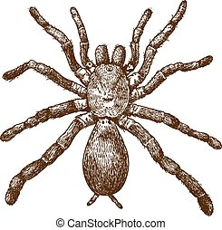 Vector antique engraving illustration of king baboon spider (Pelinobius muticus) isolated on white background