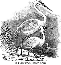 Engraving of a Great Egret (ardea alba) and Little Egret (ardea garzetta)