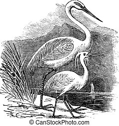 Engraving of a Great Egret (ardea alba) and Little Egret (ardea garzetta)