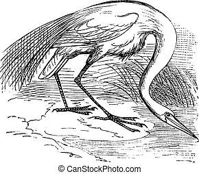 Engraving of a White Heron or egret (Ardea egretta). Old...