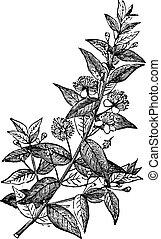 engraving., rocznik wina, mirt