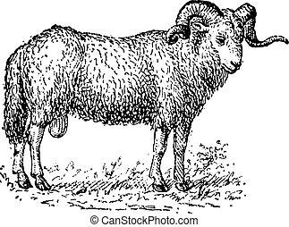 engraving., sheep, 型