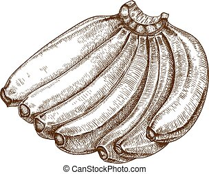 engraving vector bananas - engraving vector illustration of...