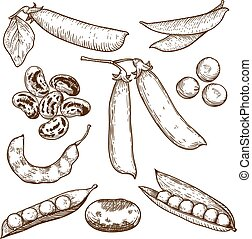 illustration of beans and peas - engraving vector...