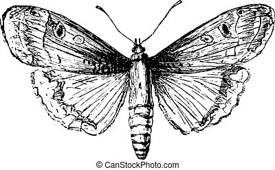 engraving., vindima, moth