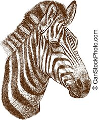 engraving zebra head - engraving antique vector illustration...