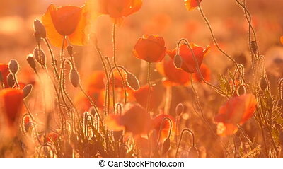 Enigmatic red poppy field under the rays of a splendid...