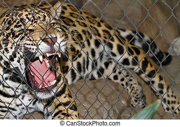enjaulado, jaguar, gruñir
