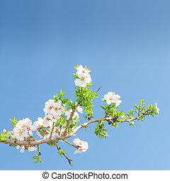 enkel, bloeien, tak, van, appelboom, tegen, lente, blauwe hemel