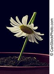 enkel, wit madeliefje, in, een, bloem pot