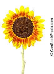 enkel, zonnebloem