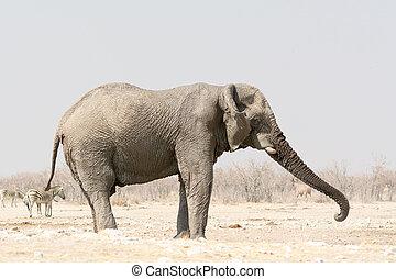 enlige, elefant, hos, en, waterhole, hos, zebraer, ind, den, baggrund