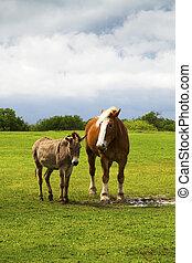 ennis, caballo, burro, tejas, pasto
